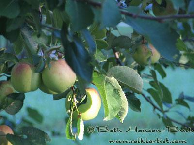 Close up of Apple Tree